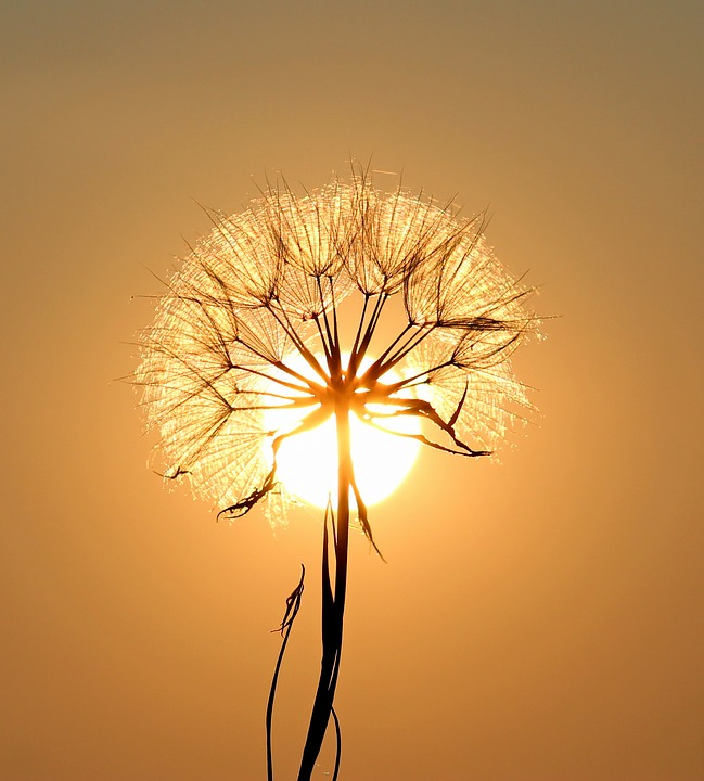 dandelion-1557110_960_720