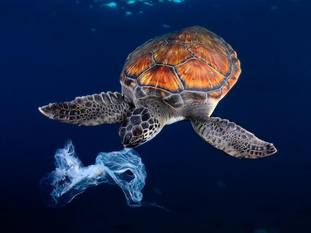 tortue-avalant-un-sac-plastique