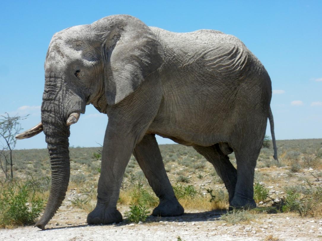 Elephants_at_Etosha_National_Park03