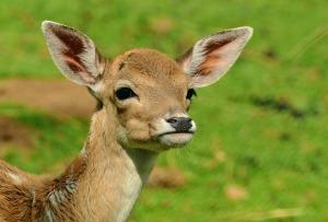 Young Deer Fawn Bambi Kitz Wild Roe Deer
