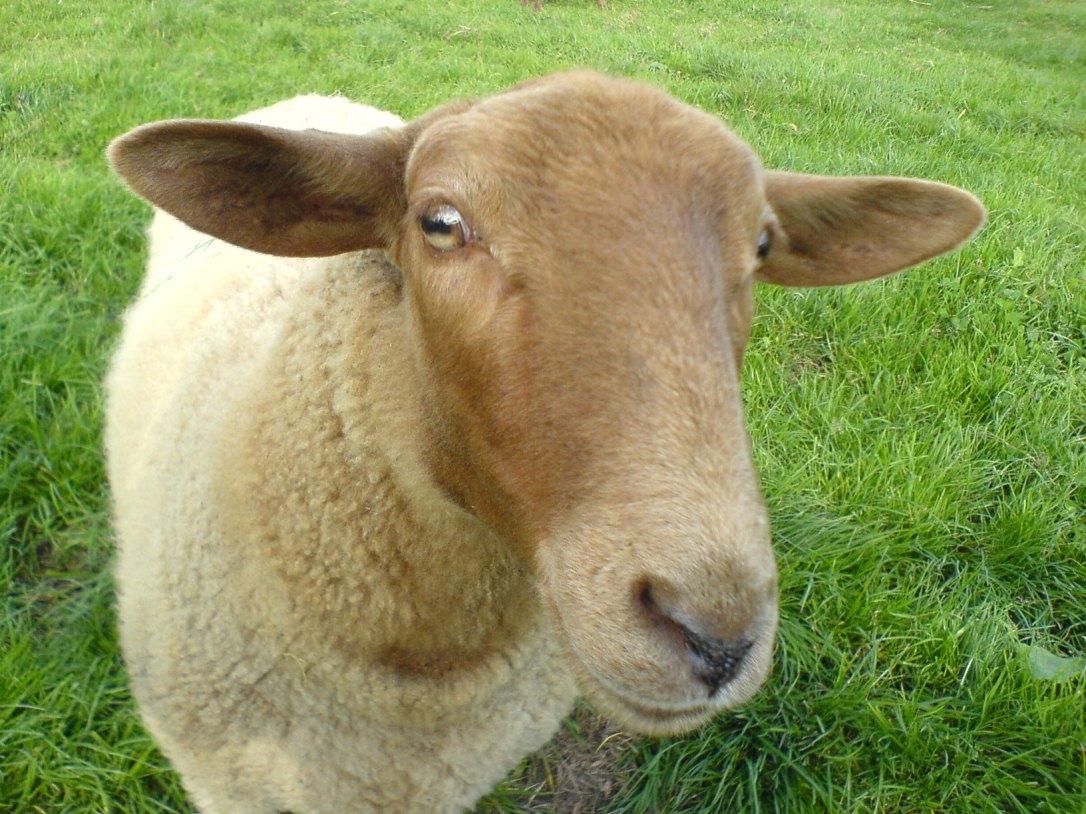 Sheep_Shaf_Mouton