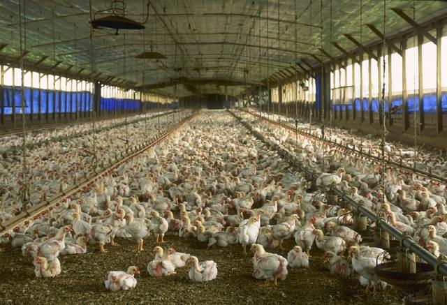 Florida_chicken_house
