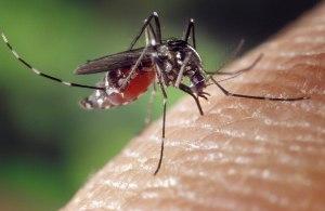 1280px-Aedes_albopictus_on_human_skin