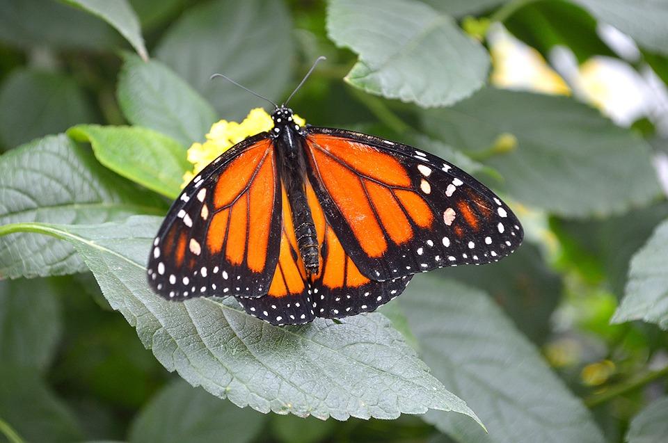 monarch-butterfly-1591322_960_720