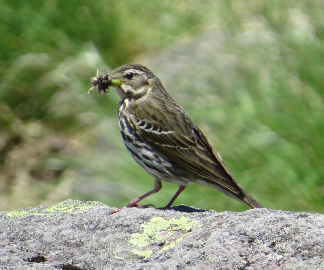 Anthus_hodgsoni_(eating_insect)