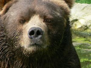 Closeup_kodiak_bear_male