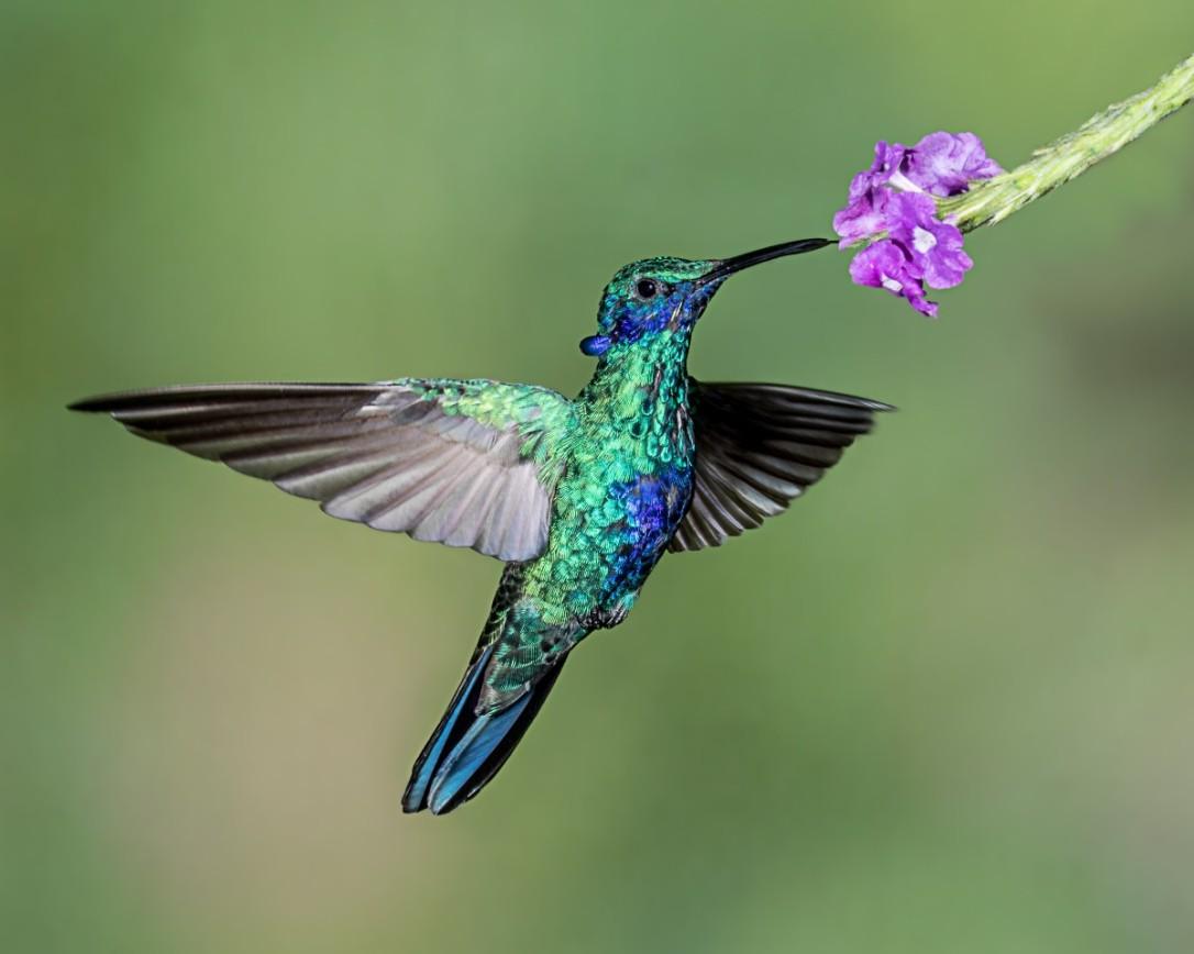 sparklingvioletear_hummingbird_inflight_hovering_feeding_flower_tandayapabirdlodge_ecuador-267936